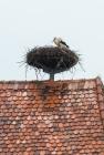 Nesting Stork