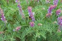 Frontier Bumble Bee