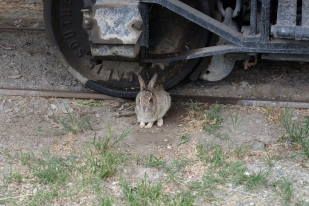 Rabbit conductor.