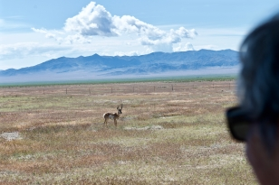Pronghorn(?) in the Great Basin.